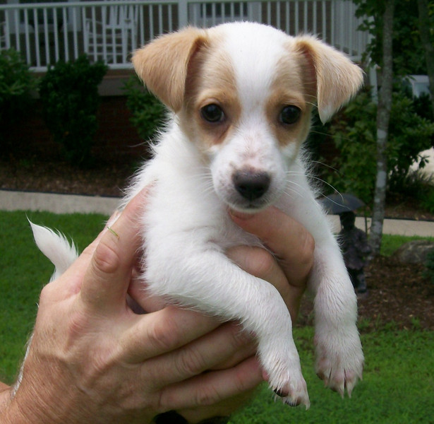 Lucky - 8 week old JRT mix male