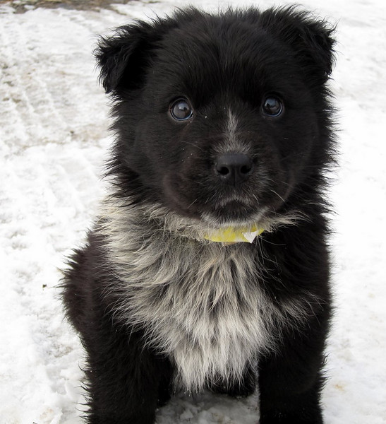 Corey - 10 week old cattle dog / border collie mix male