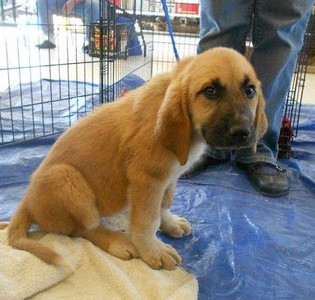Great Pyr / Bloodhound mix
