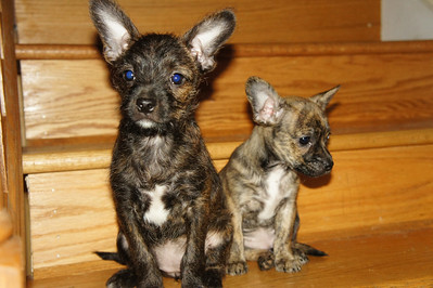 Giselle and Geena - boston terrier /schnauzer mix female, 8 wks