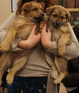 Evie and Emily -9 week old shepherd mix females