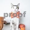 Cauliflower_10_25_2017_AWLA_Cat_003_AD