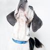 Dutch_Dog_04052018_AWLA_06