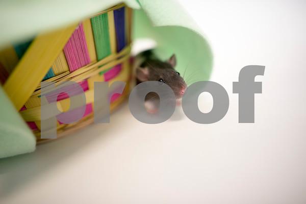 4-26-2016-Rat-BabyRuth-2