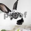 Esmeralda_Rabbit_AWLA_8_14_2017_01