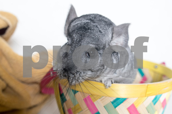 FlorenceandRue_Chinchillas_AWLA_01242018_01_AD