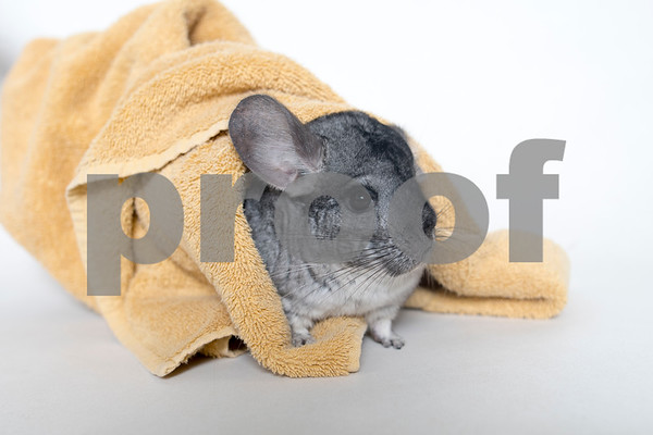 FlorenceandRue_Chinchillas_AWLA_01242018_03_AD
