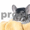 FlorenceandRue_Chinchillas_AWLA_01242018_05_AD