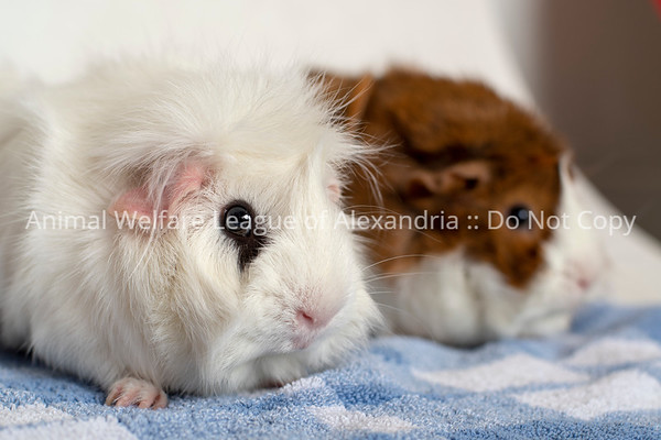 Laverne_Shirley_GuineaPig_5_9_18_AWLA_DS_03