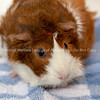 Laverne_Shirley_GuineaPig_5_9_18_AWLA_DS_01