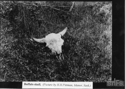 Buffalo skull.