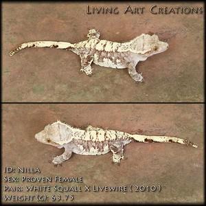 """""""Nilla"""" - $500 - White Squall x Livewire - FEMALE - 63.75 grams"""