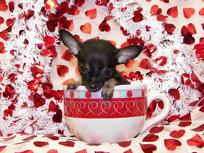 NO LONGER AVAILABLE. WILL BE KEPT BACK FOR A LITTLE STUD. MICRO TEACUP!!!! WHO SAYS THEY GROW'EM BIGGER IN TEXAS? Puppy (# SEL-CHI-08) Size: Micro Tiny Teacup Sex: Male Color: Black and Tan  DOB: 10-17-05 Description: Ultra tiny teacup chihuahua. He has a ten feet tall and bullet proof personality. He is not afraid of ANYTHING! Cute as a bug and not much bigger than one. He is almost 3 months old and weighs in at a whopping 9.5 ounces! Very healthy, just tiny.