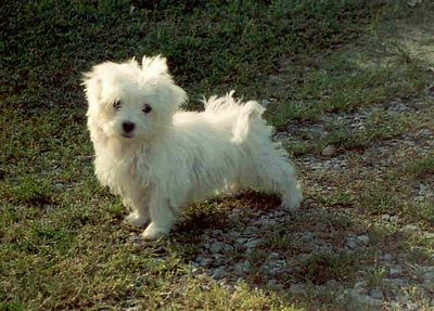 > THIS MALTESE PUPPY HAS BEEN SOLD < THIS IS A ADULT TINY TEACUP MALTESE WITH A PUPPY CUT