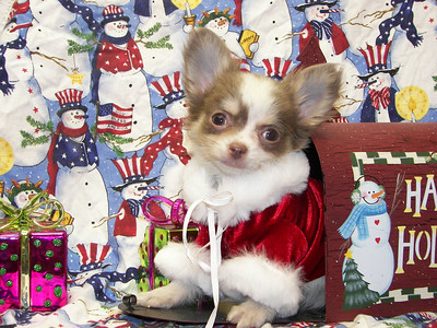PET NUMBER  ( # DEC-37-G-2-2005 ) BREED: Long Coat Chihuahua SIZE: Tiny Teacup SEX: Male