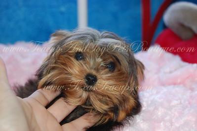 Tiny Yorkie For Sale # 2735