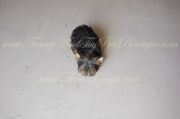 2735 Micro Tiny Teacup Yorkie Stud - Elvis