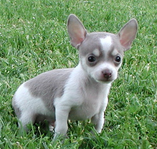 Chihuahua Chester