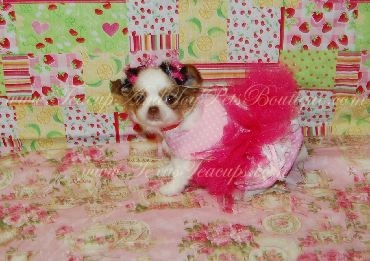 NAME: LC Chihuahua <br /> SHORT DISCRIPTION: Brown and White Long Coat<br /> PRICE: <br /> COLOR: Multicolored Red Long Coat Chihuahua Puppy For Sale, # 2618