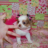 Red Long Coat Chihuahua Puppy For Sale, # 2618