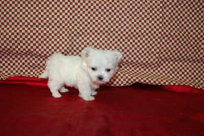 """Micro Tiny Teacup Maltese 2505 Go back to our mega photo gallery home page ( http://www.texasteacups.smugmug.com )   Go to our main web site ( http://www.texasteacups.com )  Select """"Our Contact Information"""" for phone numbers, e-mail address, address & hours.   Go to puppies for sale page on our main web site to see puppies with prices, sex & size.  Click Here ( http://www.texasteacups.com/Tiny_Teacup_Puppies.htm"""