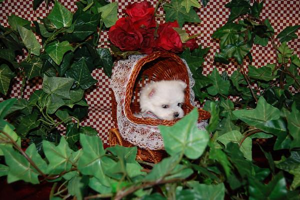 Preston - Maltese Puppy # 2505