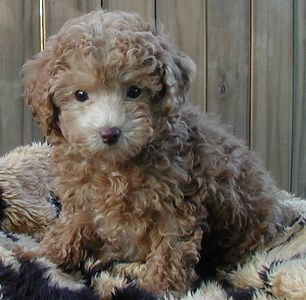 ADULT MALTE POO WITH MORE OF A POODLE LOOK. THEY HAVE MORE OF THE TEDDY BEAR LOOK> WITH MORE CURL.