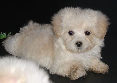 Apricot & Cream Malte Poo with more of a Maltese Look