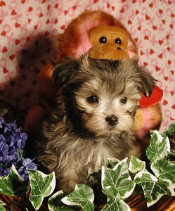 Multi Colored Malte Poo with more of a Maltese Look