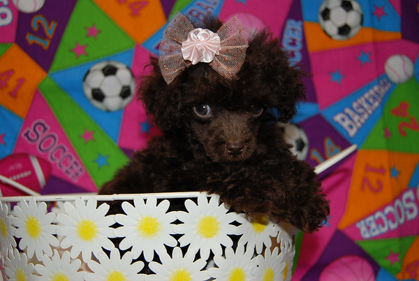 Chocolate Tiny Toy Female Malti Poo