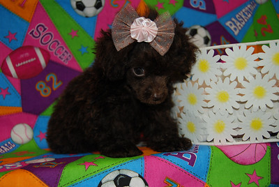 PUPPY NUMBER: # MP TINY TOY 569 Price, Size & Sex listed above photo. Select one of the above links for additional information.  PERSONALITY & COMMENTS: This little girl has a rare unique chocolate color with a slight touch of red. She has a spunky outgoing personality. ########################################################## Make note of the Puppy Number # ___________ It will be required on the application form.  ******************************************************* http://www.teacupandtoypetsboutique.com/PuppyPurchaseApplication.php ↑ Click Open ↑ Puppy Purchase Application Form If you are ready to move forward and purchase this puppy now.  ************************************************************************* http://www.teacupandtoypetsboutique.com/PetInquiryForm.html ↑ Click Open ↑ Pet Inquiry Form  Select this link for a quick answer to any of our available puppies.