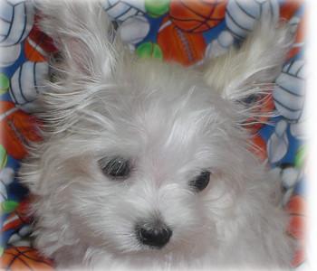 Puppy Number # SAMMY 1025
