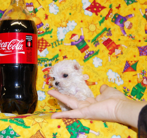 Super Tiny Teacup Puppy For Sale Sammy 1025 Smallest Adult MaltePoo in the world!