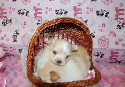Sadie - Pomeranian Puppy # 2670