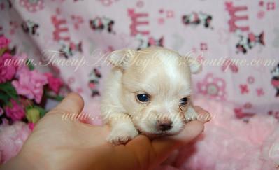 Tiny Teacup Pomeranian Puppy 2670