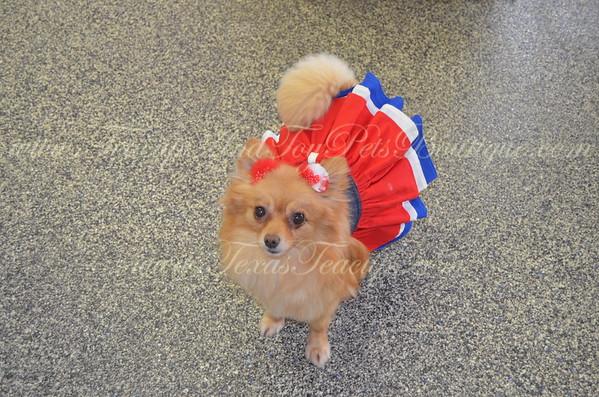 Molly - Pomeranian Adult # 2530 (Female)