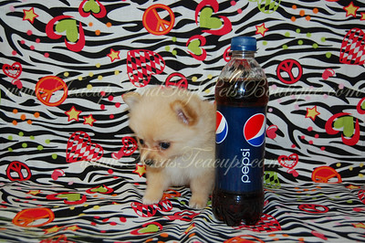 "Tiny Teacup Pomeranian 2530 Go to our main web site ( http://www.texasteacups.com )  Select ""Our Contact Information"" for phone numbers, e-mail address, address & hours.   Go to puppies for sale page on our main web site to see puppies with prices, sex & size.  Click Here ( http://www.texasteacups.com/Tiny_Teacup_Puppies.html )"