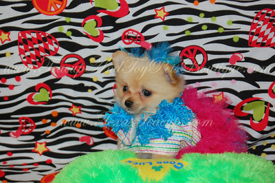 Tiny Teacup Pomeranian 2530