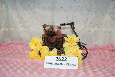 Micro Tiny Teacup Pomeranian Puppy 2622