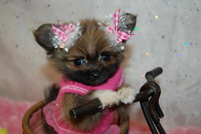 Micro Tiny Teacup Pomeranian Puppy 2622