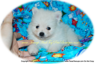 Pomeranian Puppy # POM 2013 Sold To: Krystal Bice