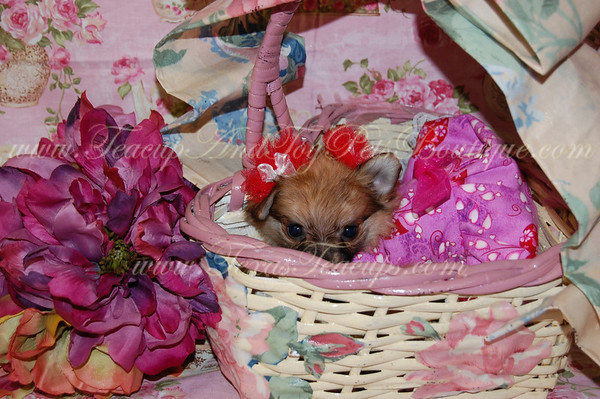 Bella - Teacup Pomeranian Adult # 2528 (Female)