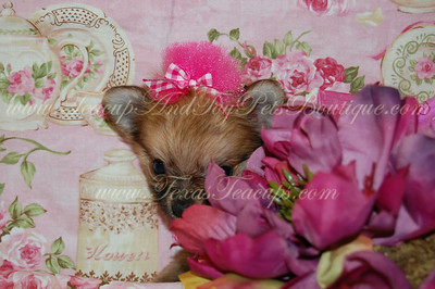 Micro Tiny Teacup Pomeranian Puppy 2528