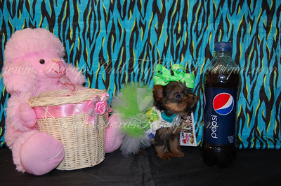 Micro Tiny Teacup Yorkshire Terrier 2534
