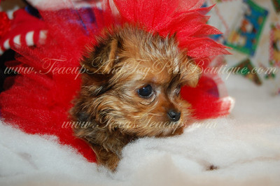 Tiny Morkie Puppy For Sale 2487  Go to puppies for sale page on our main web site to see puppies with prices, sex & size.   Click Here (  http://www.texasteacups.com/Tiny_Teacup_Puppies.html  )