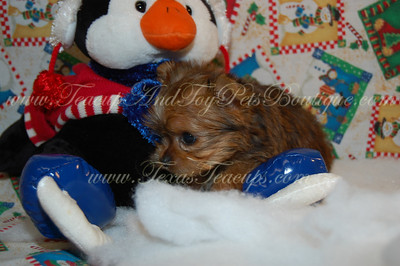 Tiny Morkie Puppy For Sale 2487