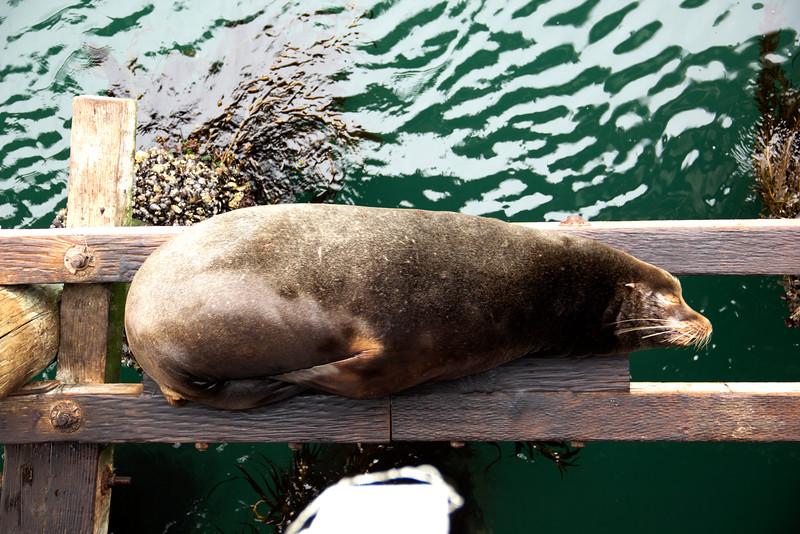 Chubby Sea Lion