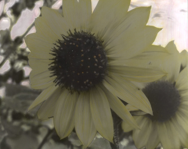 Hand Colored Sunflower