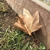 Fragil Leaf