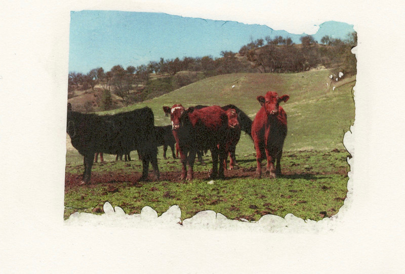 Cows (From DASS Process)